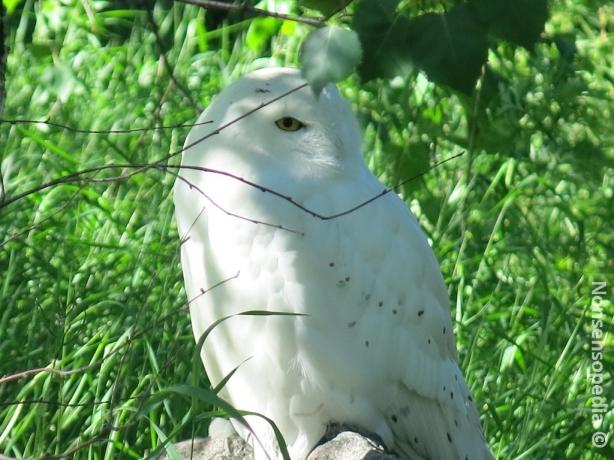 Tunturipöllö on IMO coolein pöllöistä