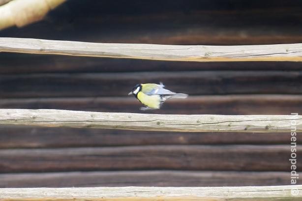 pikku lintu