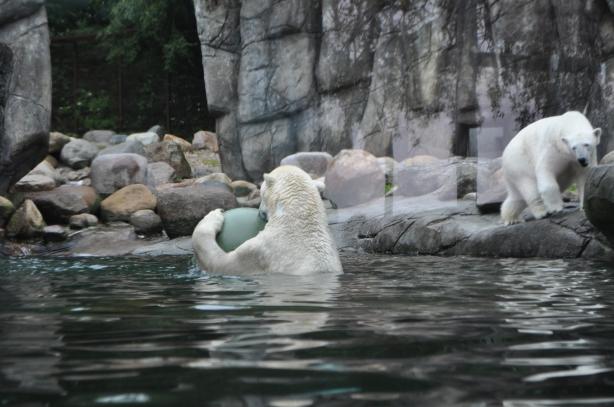 jääkarhut
