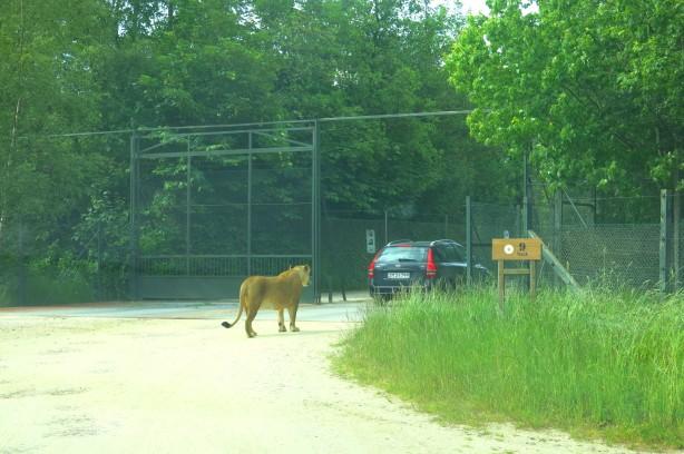leijona vahtii ulospääsyä