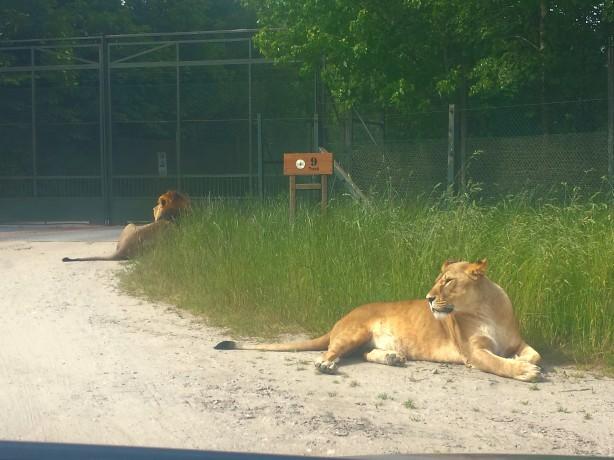 Leijonat tiellä