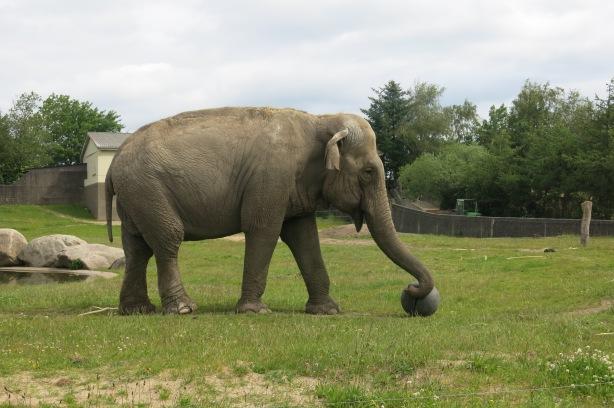 Messi norsu